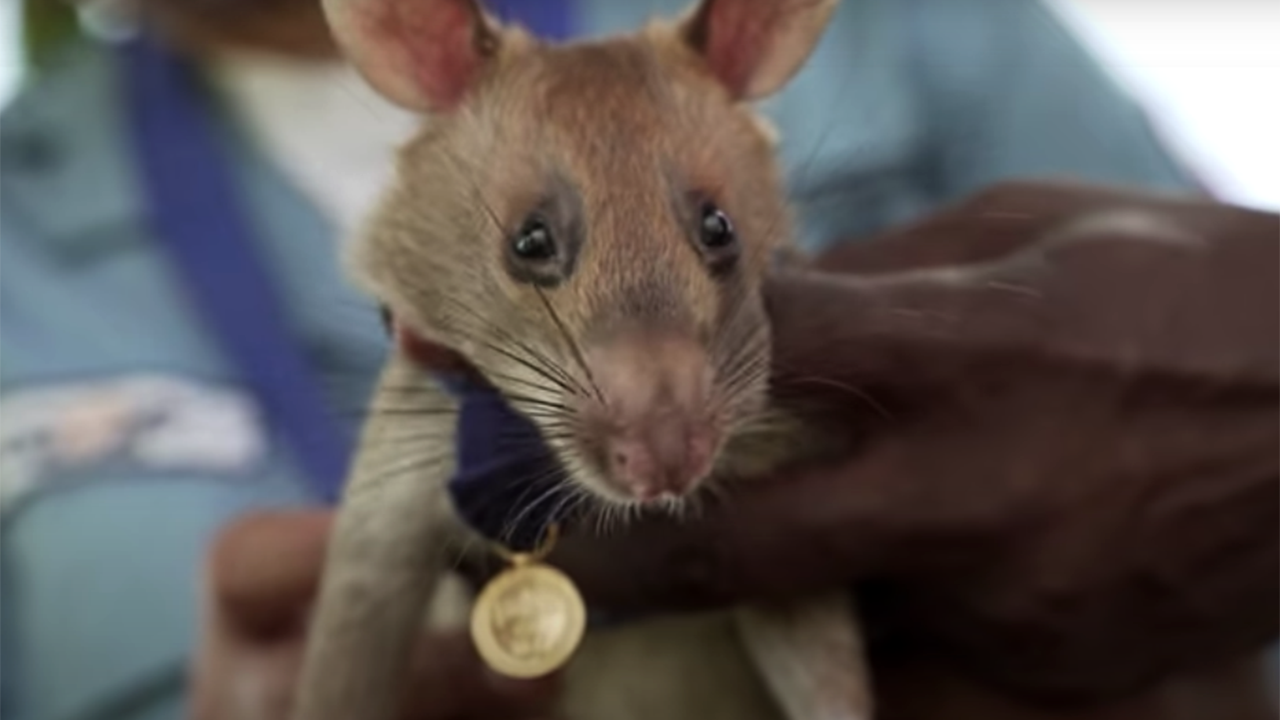 Giant rat receives animal hero award for landmine clearance in Cambodia