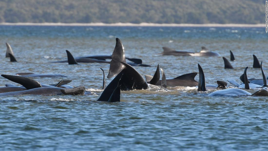 A pod of whales stranded on a sandbar in Macquarie Harbour, Tasmania, on September 21.
