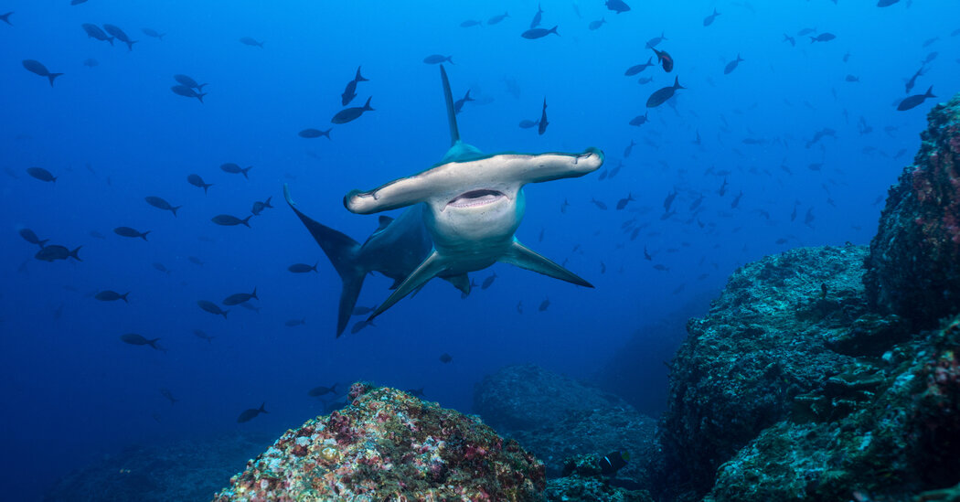 The pros and cons of being a hammer shark