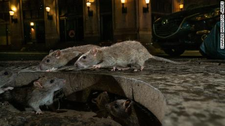 The CDC says rats are becoming more aggressive as restaurants close