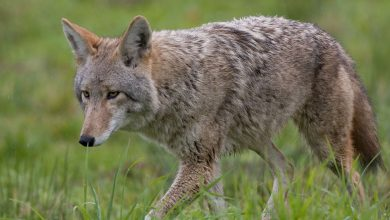 Photo of Rockville: Coyote attacked 2 girls, 1 boy went crazy