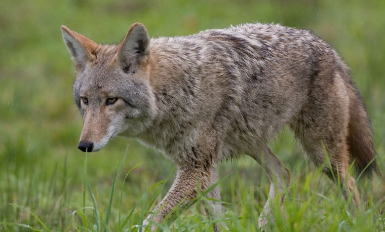 Rockville: Coyote attacked 2 girls, 1 boy went crazy
