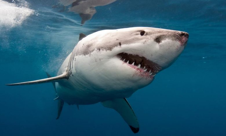 Shark Attack: Killing a Man at Cable Beach in Western Australia