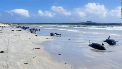 Photo of Nearly 100 whales die in mass fibers in New Zealand