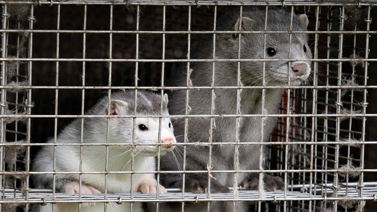 Denmark kills 15M animals to stop re-emergence of govt mutation in humans - NBC New York