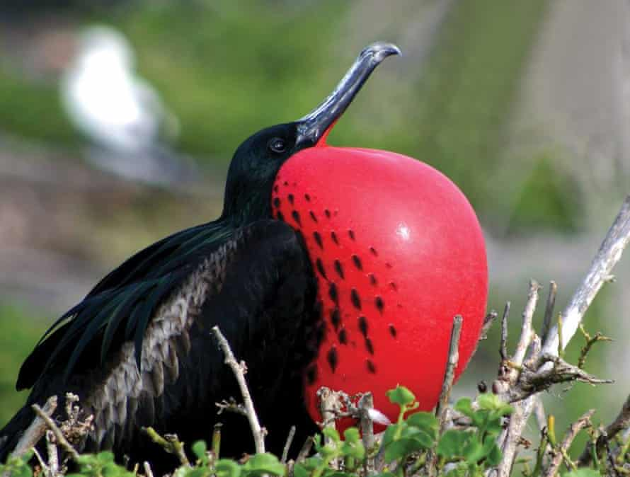 A war bird at the Brigade Bird Sanctuary in Barbuda.