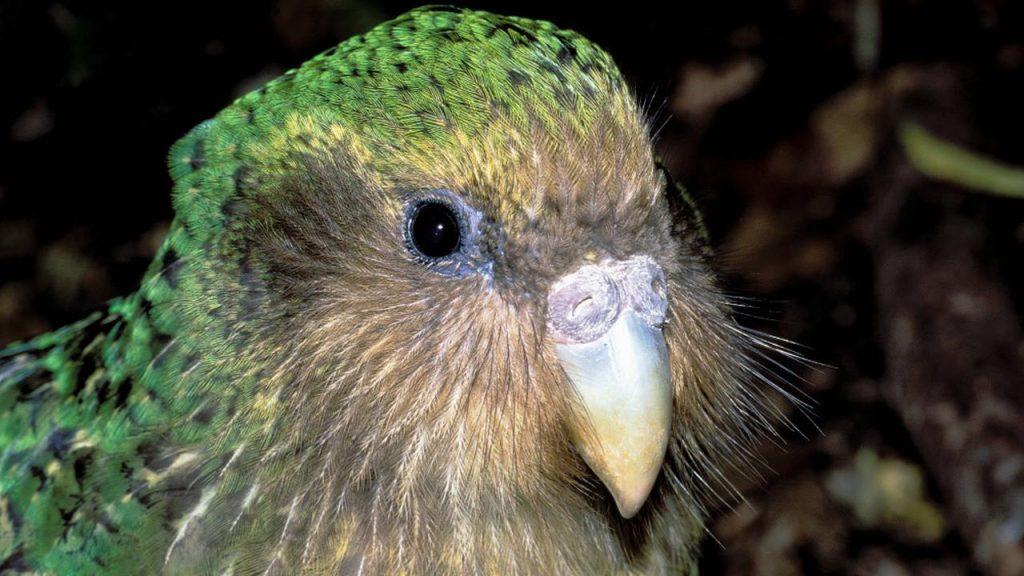 Kakapo Wins New Zealand Fraud Bird Election    NOW