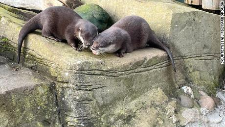 Otters Pumpkin and Harris at SEA LIFE Scarborough