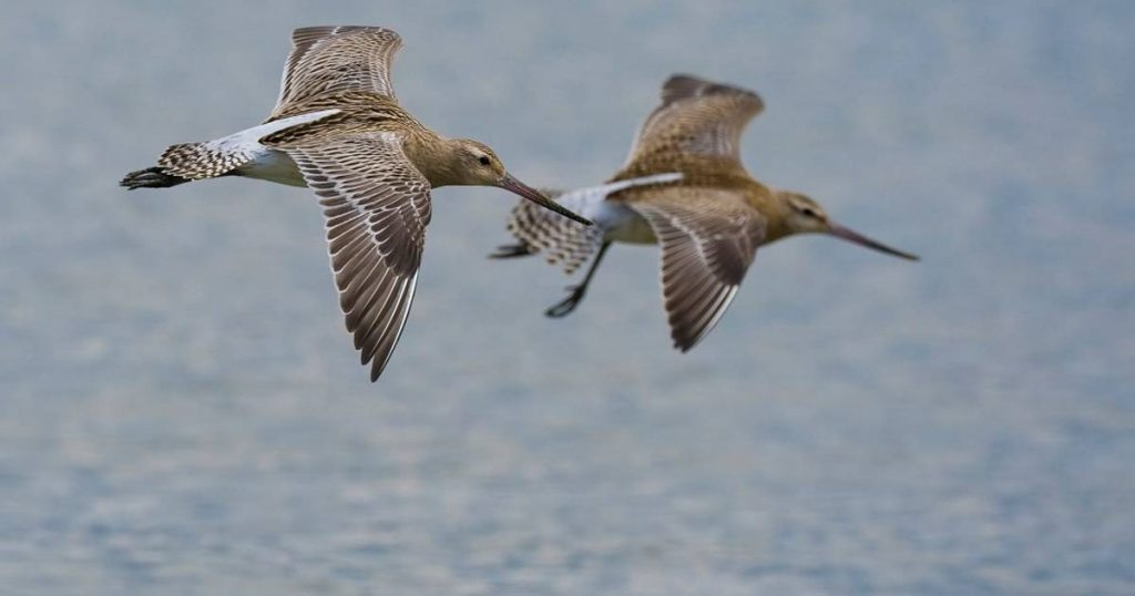 Black-tailed Godwit Breaks Record with Longest Non-Stop Flight: Alaska to New Zealand |  Science
