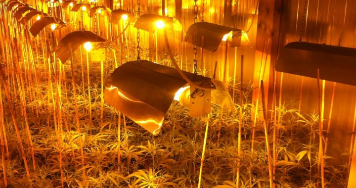 Hundreds of cannabis plants discovered in the hidden space of a café in Steenbergen, three arrests    112 and crime