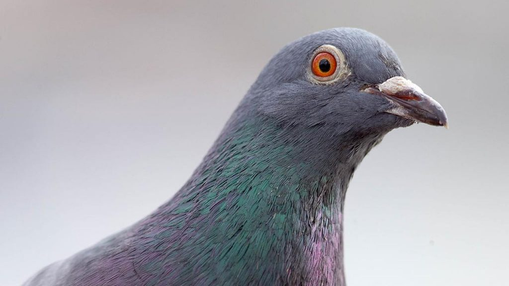 Racing pigeon survives trip from US to Australia, but authorities are not happy    NOW