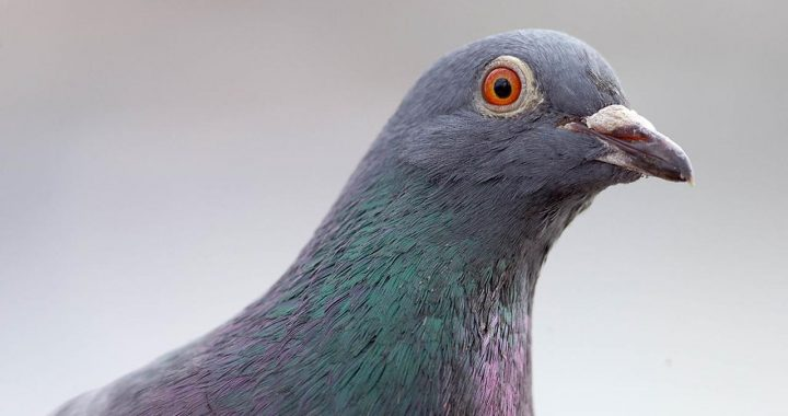 Racing pigeon survives trip from US to Australia, but authorities are not happy |  NOW
