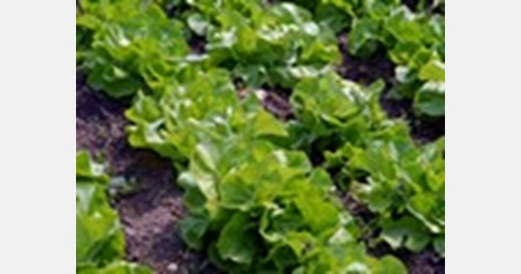 Keeping leafy vegetables cool is an exact science