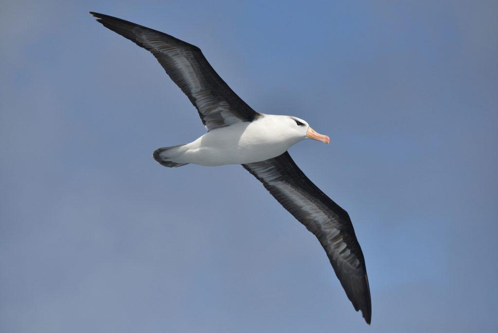 Movie: Albatross Hard Landing, Goes Viral