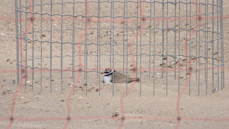 The nesting cage cannot protect the ringed plover from washing water