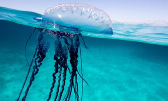 Bluetbottle jellyfish