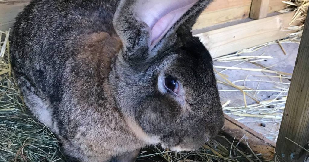 Biggest rabbit in the world stolen, the British owner offers more than 1000 euros |  Instagram