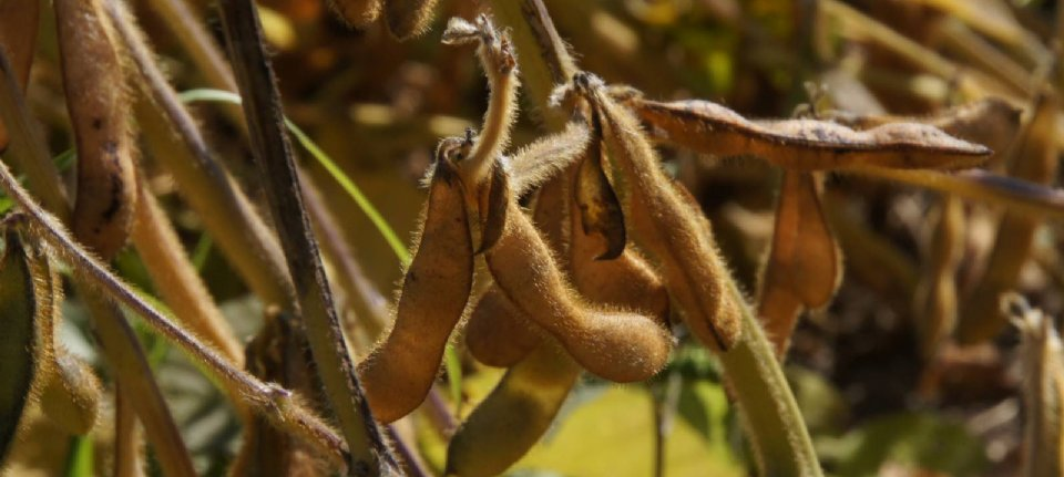 Drought in western US threatens soybean and corn crops