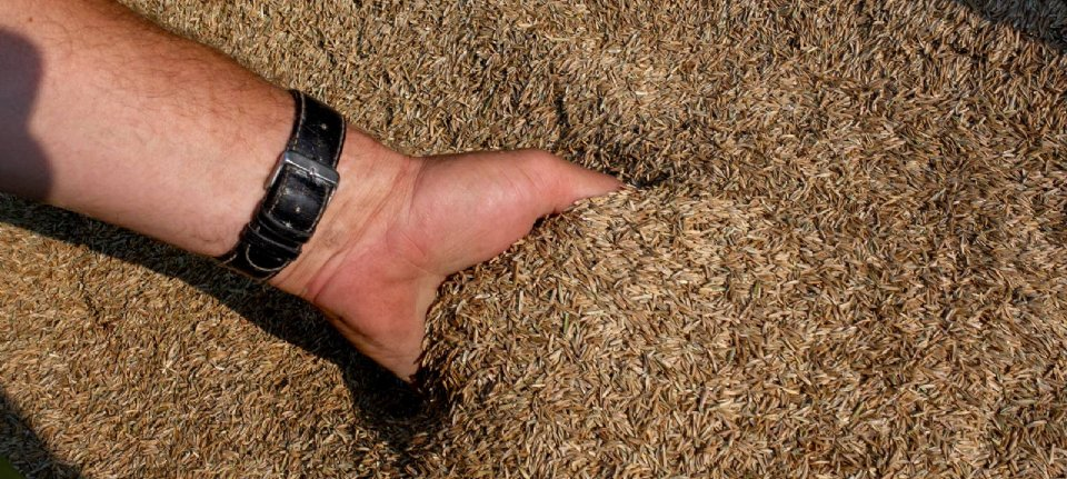 Growth Regulation Improves Yield of Grass Seed Crop - New Harvest