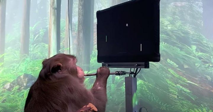 Monkey Learns To Play Pong With Only His Thoughts |  NOW