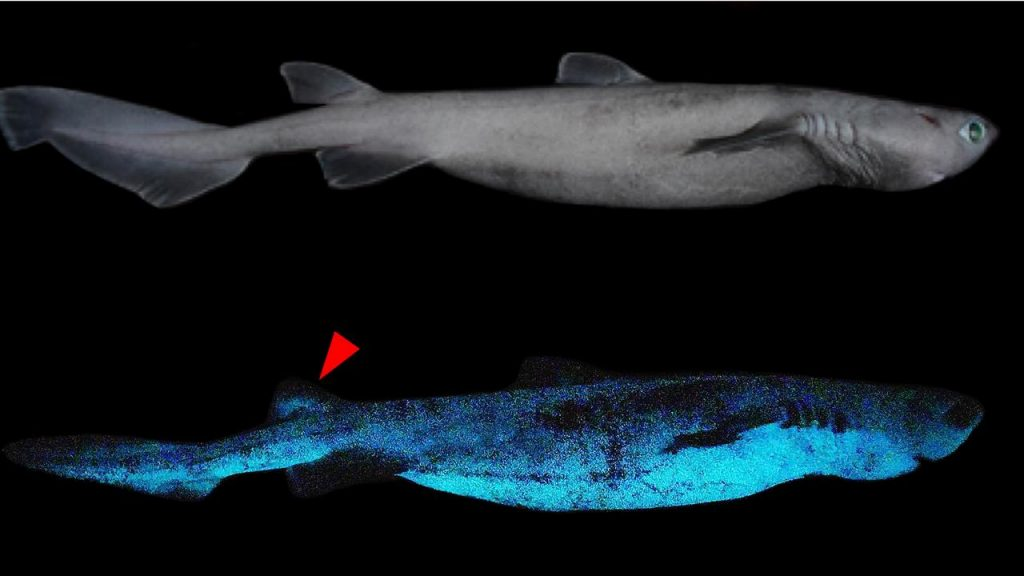 Three species of luminous sharks discovered off New Zealand |  NOW