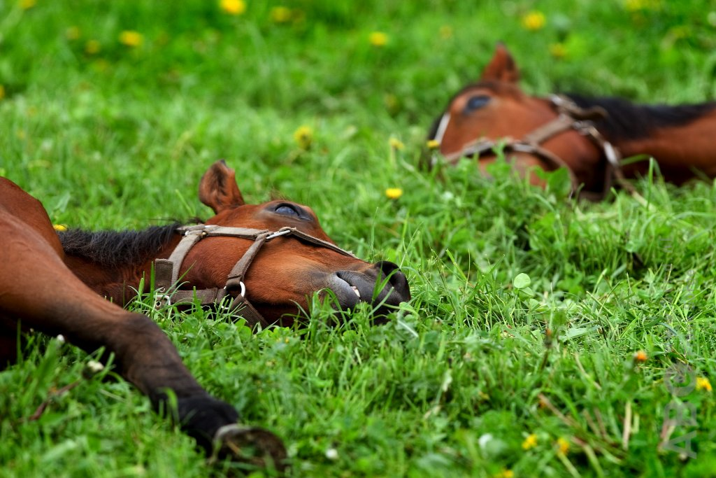 Slapen, liggen, weide, foto Frank Sorge