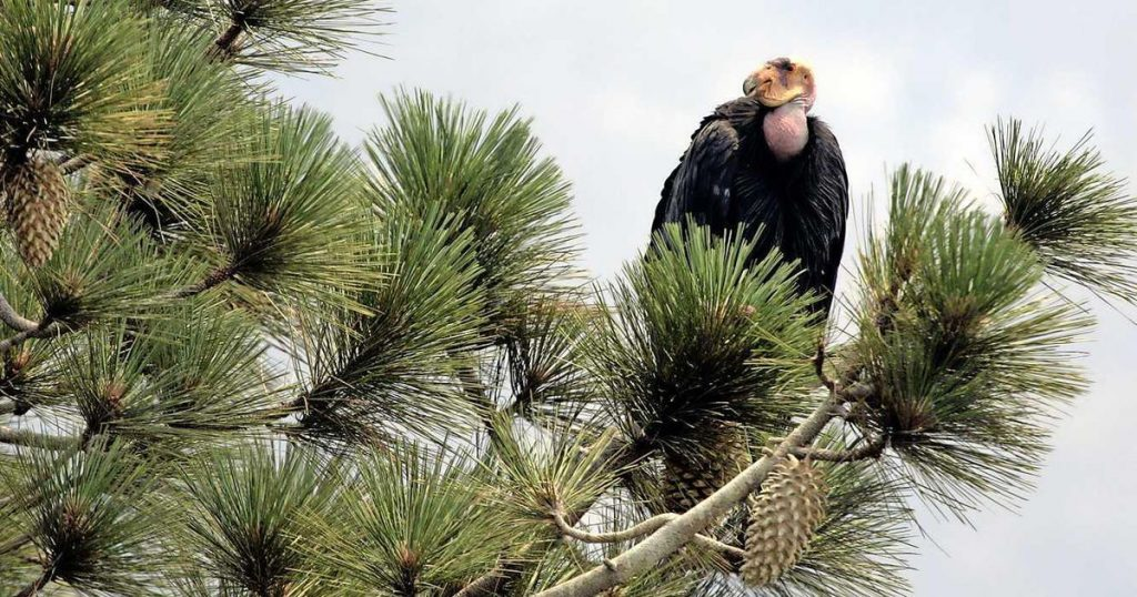 Condors ravage the Californian family home |  Abroad