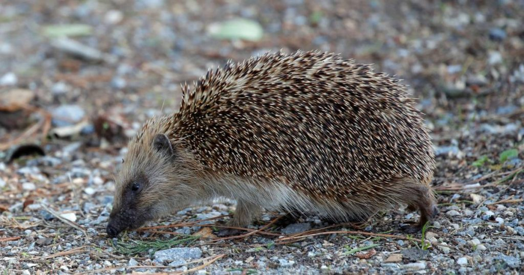 New Zealand to exterminate hedgehogs |  Abroad