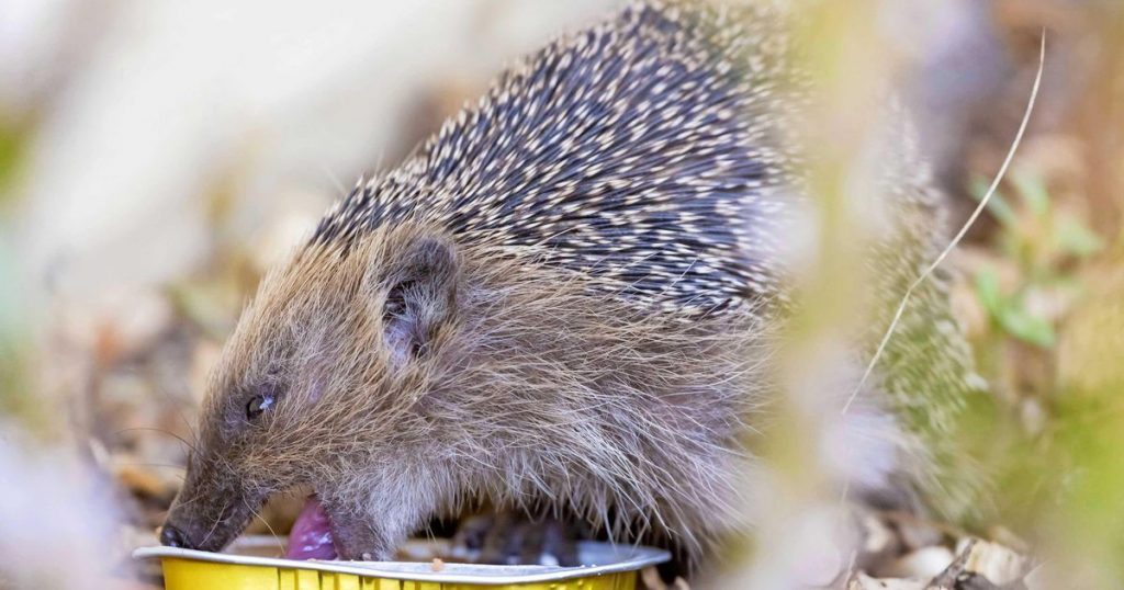 New Zealand wants to eradicate the hedgehog |  Abroad