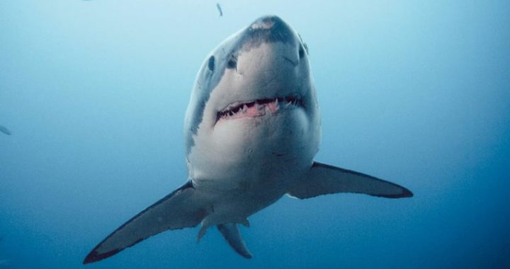 Sharks use Earth's magnetic field as a GPS