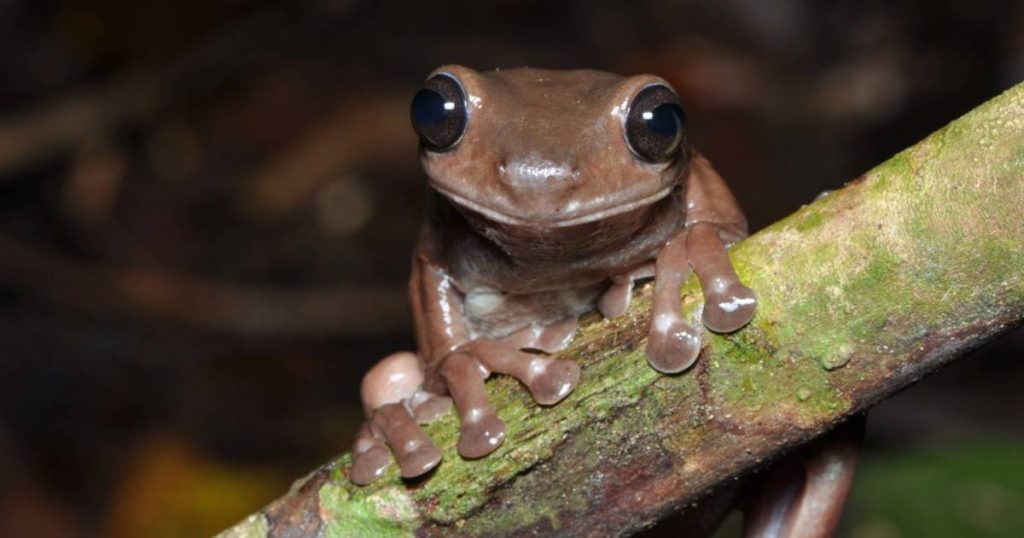 Special discovery in the tropical rainforests of New Guinea: the chocolate frog    Science