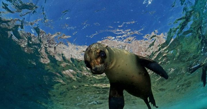 Why does a seal swim with its abdomen and a sea lion with its front fins?  There is finally an answer