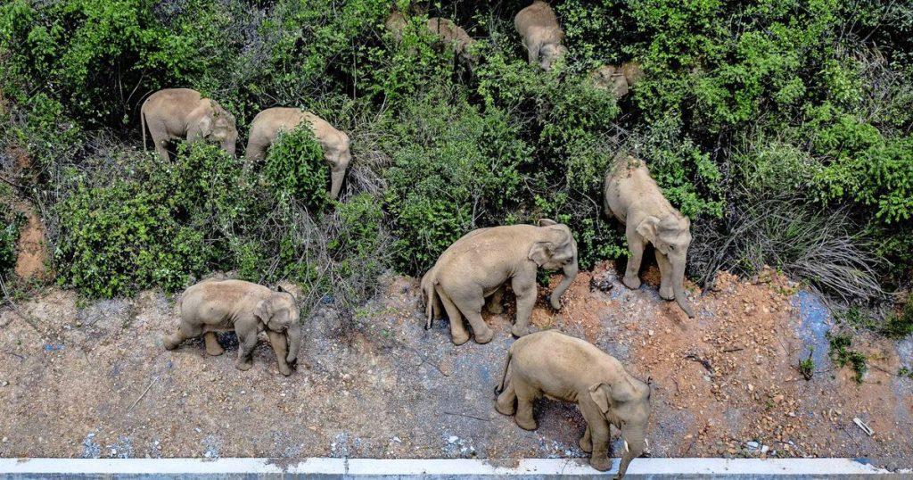 China Deploys Trucks Against Advancing Elephants Near Metropolis    Abroad