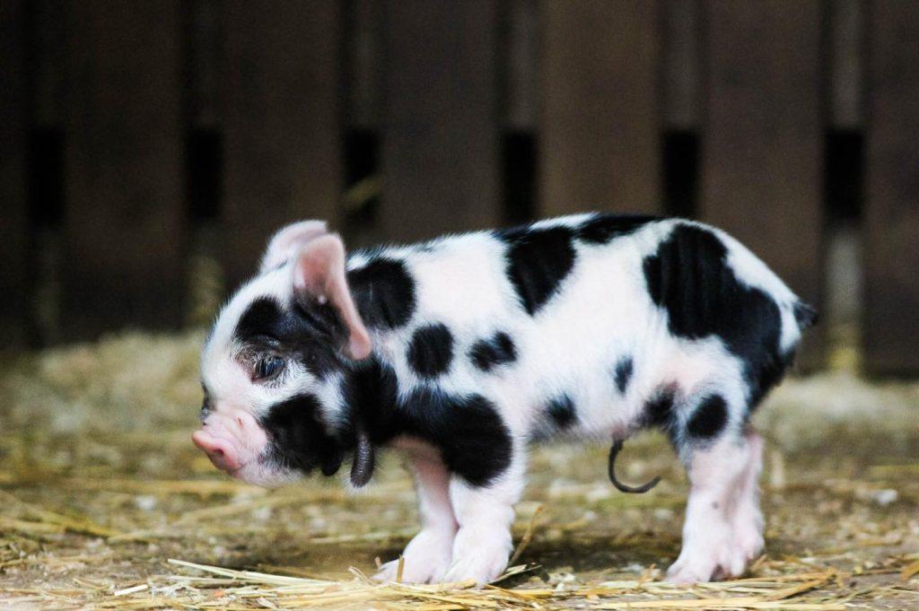 So cute!  Piglets born at City Farm De Vosheuvel