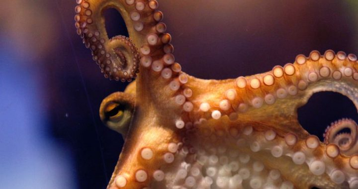The search for intelligent materials: the ideal lies in the arms of the octopus