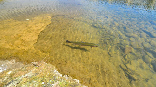 Why wild salmon won't come back to Limburg |  1Limburg