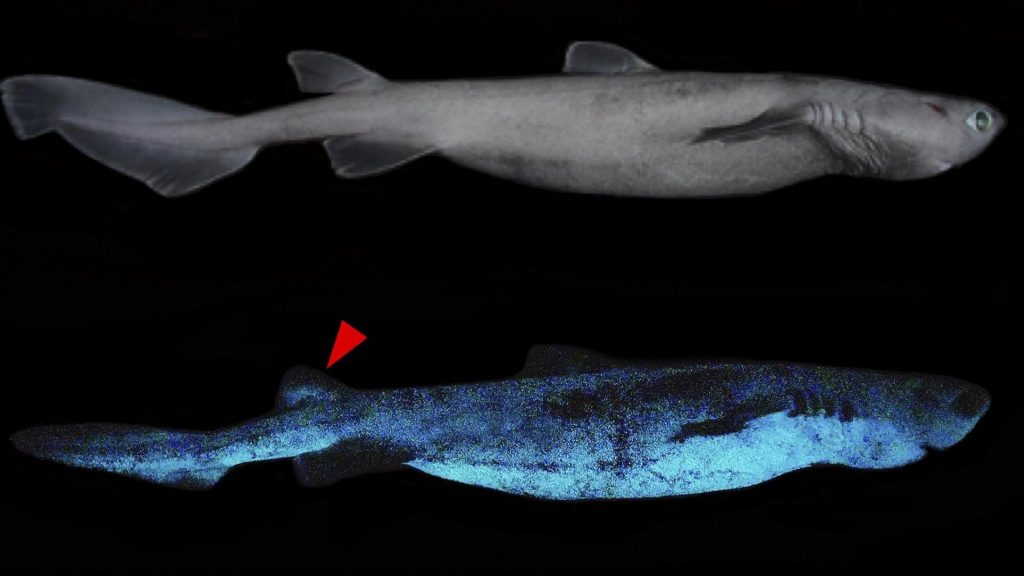Glowing sharks discovered off New Zealand coast
