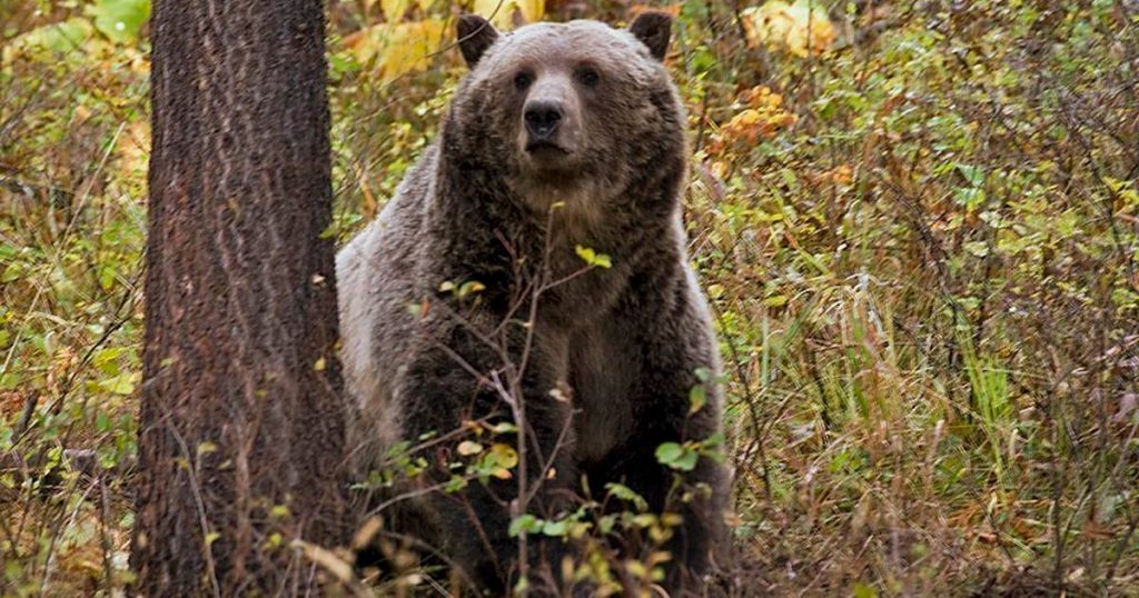 Grizzly bear shot dead after fatal drama with sleeping camper (65) |  Abroad