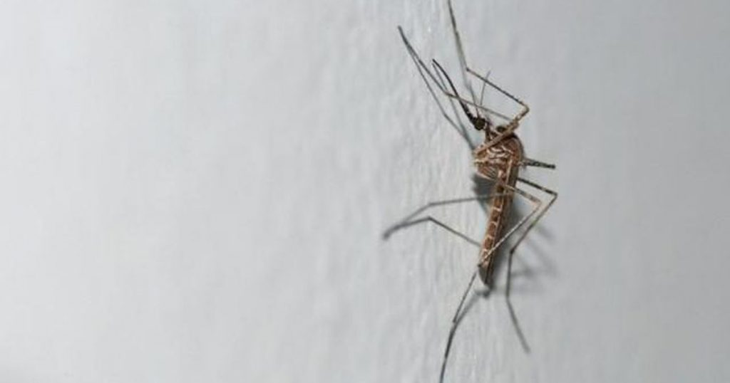 A new exotic mosquito has appeared in Belgium |  Abroad