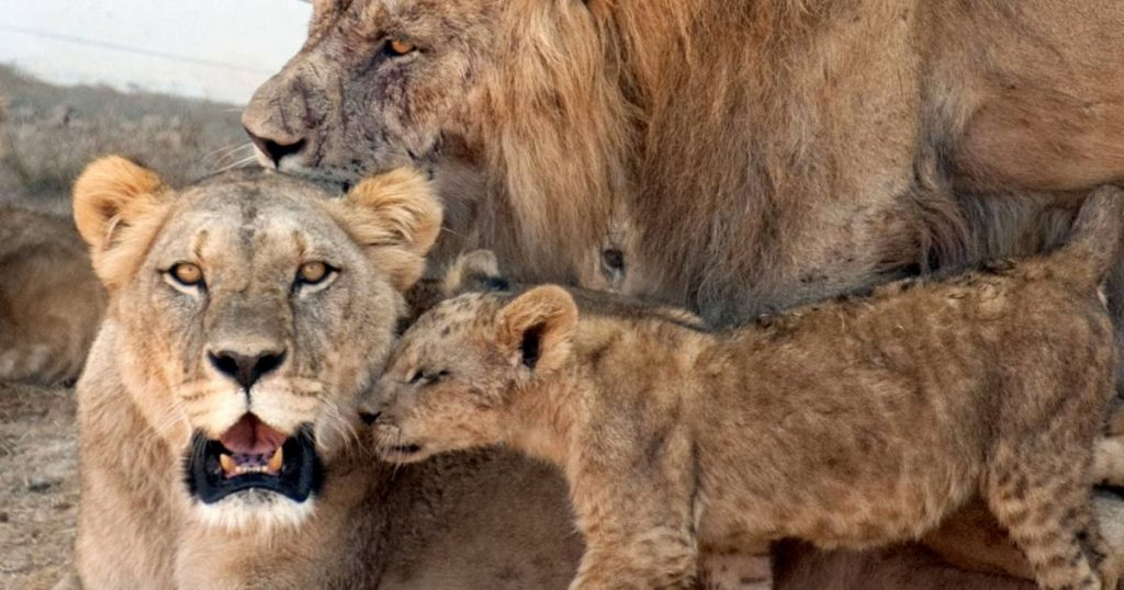 Bash for an African family: 3 children killed by lions in Tanzania    Abroad