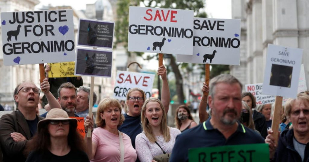 British outrage over the fate of the Geronimo alpaca |  Abroad