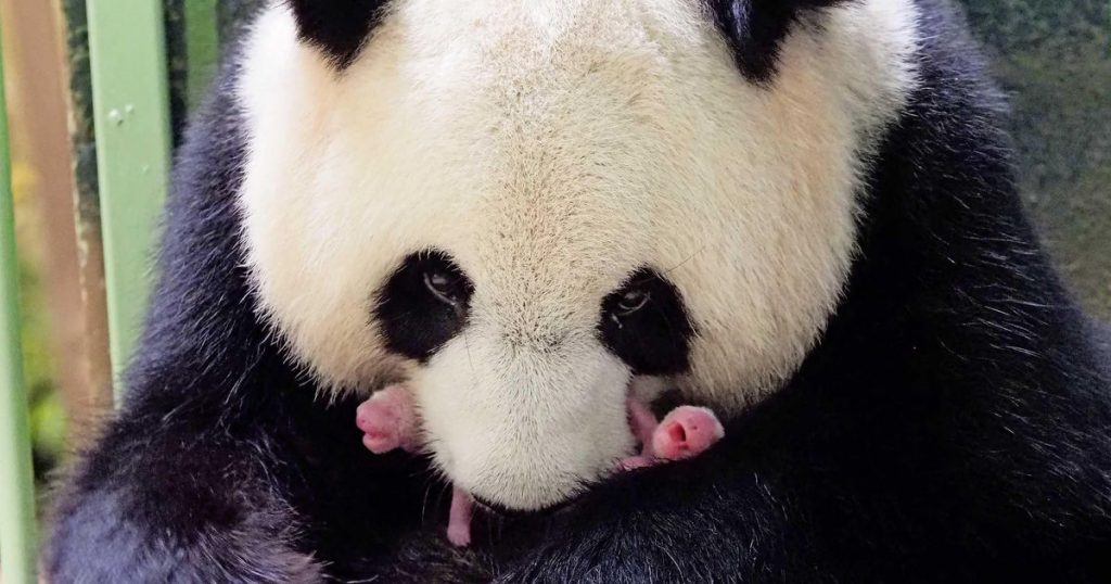 """""""Healthy"""" panda twins born in a French zoo 