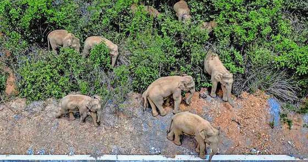 """Herd of elephants after a year of """"road trip"""" through the cities, finally on the way """"home"""" 