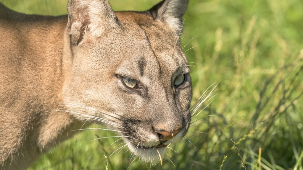 Mother saves 5-year-old son from cougar clutches in US