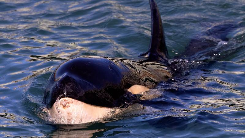 New Zealand searches for family of stranded baby orca