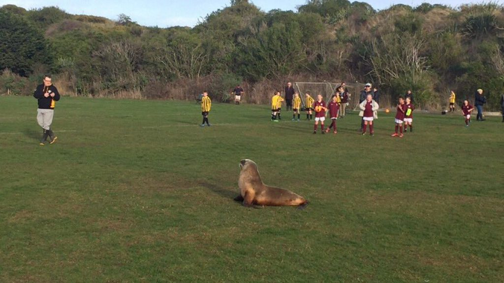 Sea lion disrupts New Zealand football match