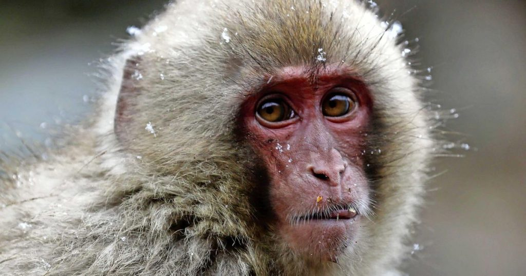 Unique: a female takes power in a colony of Japanese monkeys    Abroad