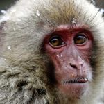 Unique: a female takes power in a colony of Japanese monkeys |  Abroad