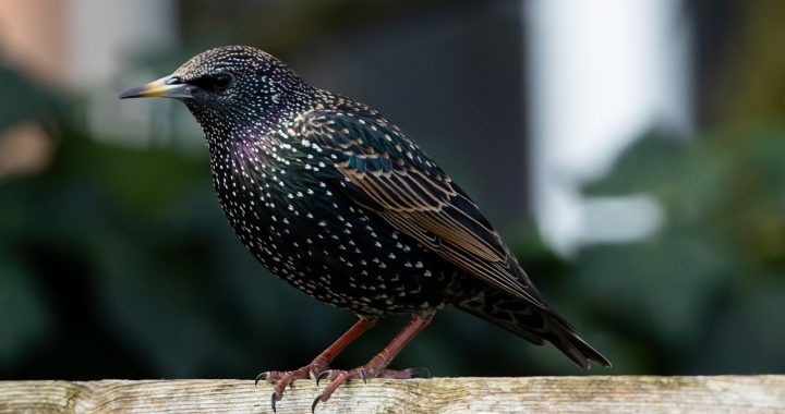Mozart's Starling |  Story