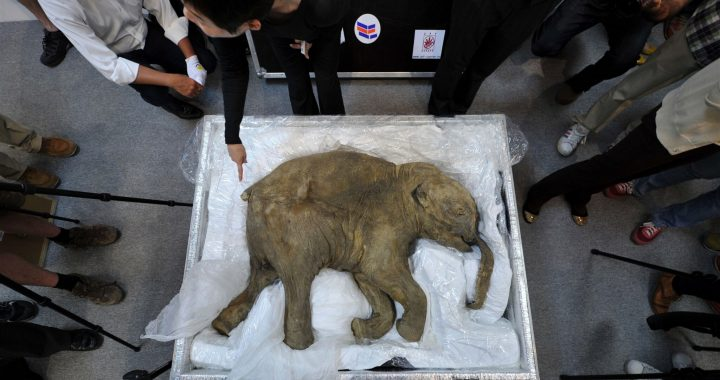 Company wants to bring extinct woolly mammoth back to life